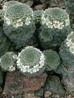 Succulent Plant Information: Viola columnaris