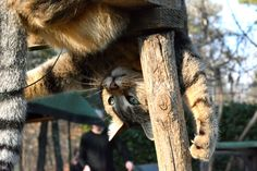 Upside Down - Fiorella upside down. Panther, Fox, Animals, Animales, Animaux, Panthers, Animal, Animais, Foxes