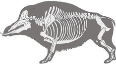 """Some time ago I wrote in a comment I would like to draw one of those """"hypothetical future fauna"""" based on the concept of """"mammoth boars"""". Boars are very. Horse Anatomy, Animal Anatomy, Human Skeleton Anatomy, Museum Exhibition Design, Skeleton Drawings, Animal Skeletons, Wild Boar, Prehistoric Animals, Creature Concept"""