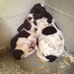 CALHOUN, GA...Petrified BEAGLE babies in Calhoun, GA (Gordon County shelter -- 790 Harris Beamer Road, Calhoun, Ga., tel #706.629.3327) ID #'s 2106 and 2107 . Poor babies are petrified in the loud, scary shelter. They need out!To Adopt a pet at Gordon County Animal Shelter, you must fill out an adoption agreement and pay adoption fee. The fee is good toward a *certificate to have your new pet spayed or neutered and for the rabies shot. Cats - $50 adoption fee Dogs - $60 adoption fee