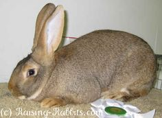 Flemish Giant Rabbit   Rudolph's Rabbit Ranch - List of Meat Rabbit Breeders in the United ...