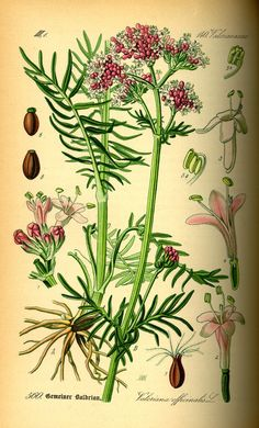 Valerian - Sedative properties found in roots - Exceptionally fragrant white or pink flowers are excellent for cutting - Grows 3-4 feet tall. Winter hardy to zone 4 - circa 1885