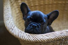 Baby frenchie in a basket...Birthday/Christmas present!