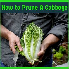 Pruning of a Cabbage plant Growing Cabbage, Cabbage Plant, Growing Veggies, Easy Jobs, Gardening, Canning, Cabbages, Plants, Leaves