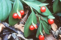 Lónyelvű csodabogyó (Ruscus hypoglossum, Ruscaceae) (Seregélyes Tibor felvétele)