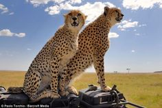 White Wolf: Two cheetahs board photographers 4x4 to go cruising round the Masai Mara