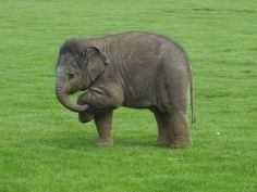 Longleat elephant calf