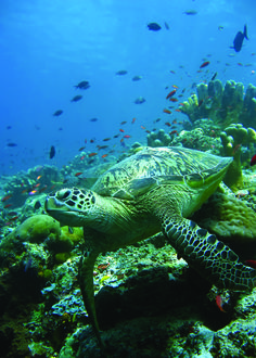 SEA TURTLE.........SOURCE BING IMAGES..............