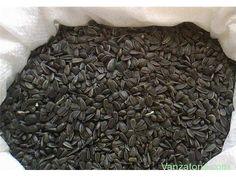 Vand seminte floarea soarelui 50>500 kg Tamadau,Calarasi Tamadau Mare - Vanzatorul