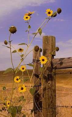 Sunflowers in the wild...Teri Argo Photography