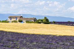 Lavender fields in #Provence http://www.nyhabitat.com/blog/2014/06/23/artisanal-souvenirs-bring-from-provence-france/