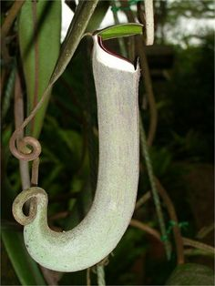 Top 10 Rare & Unusual Flowers - Nepenthes albomarginata