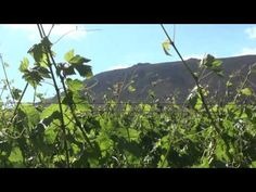 Seven Springs Vineyards joins Boucheron Wines' fine selection - Meet Riana, the very talented winemaker! South African Wine, Seven Springs, Wine Merchant, Wines, The Selection, Vineyard, Meet, Tv, Youtube