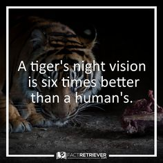 Tigers wait until dark to hunt, when the vision of their prey is usually compromised