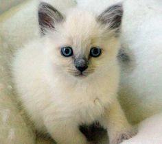 Siamese Kitten.