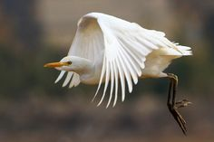 """""""@Team_Viken: Cattle Egret in flight by AhmedWaheed #Photography #Animals """""""