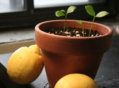 How+To+Grow+A+Lemon+Tree+From+Seed