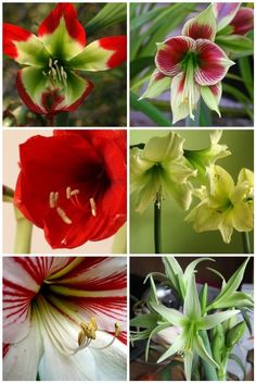 Hippeastrum (amaryllis) - one of my faves :)