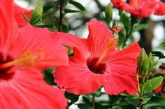 Red Hibiscus on the Big Island of Hawaii