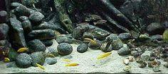 Tanganyika Biotope Aquarium, Cichlid Aquarium, Aquarium Fish, Fish Aquariums, Malawi Cichlids, African Cichlids, Glass Aquarium, Planted Aquarium, Aquarium Decorations