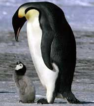 Mother and Child penguin