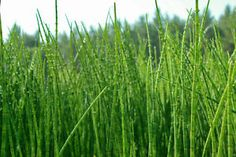 How to Grow a Horsetail Plant