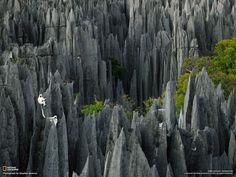 Sifakas Lemurs / western Madagascar. By Stephen Alvarez (click for high-res)