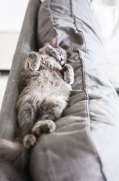 Fluffy grey cat sleeping on top of the couch (hva)