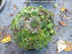 Make a Succulent Sphere; make your own globes or orbs planted with Sempervivum & succulents for a unique garden craft; simple to make and plant...