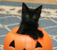chaton noir caché dans une citrouille pour halloween