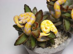 Count Blue Ball Python Ring - You'll wanna hold on to these snakes.