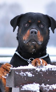 Who wants to play with me? #rottweiler