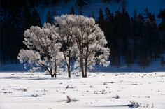 Druid's Frosty Morning Passage - Gray Wolves, Yellowstone, Thomas Mangelson Photo