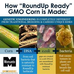 """How """"RoundUp Ready"""" GMO Corn is Made. More Here: http://gmoseralini.org/wp-content/uploads/2012/11/GES-final-study-19.9.121.pdf"""