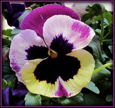 'Water-color Pansy' - Flickr - Photo Sharing!