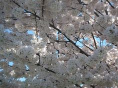 Cherry blossoms D.C. by Michelle