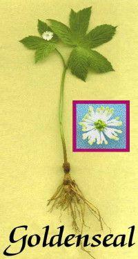 Goldenseal root  Anti-biotic & Immune Enhancer