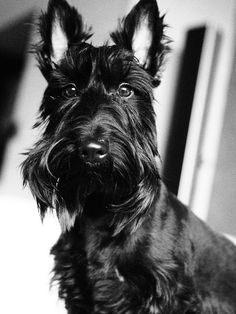 Beautiful Scottie