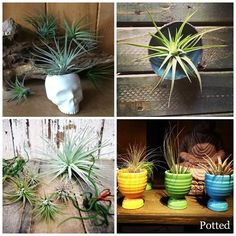 Plant Pointers - How Not To Error With Your Air Plant❤️ http://likes.livedan330.com/plant-pointers-how-not-to-error-with-your-air-plant