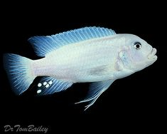 Snow White Mbuna Cichlid from Lake Malawi in East Africa
