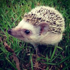 adorable little hedgehog in the grass