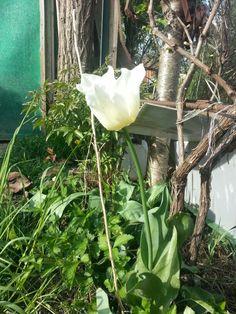 My Tulip 14