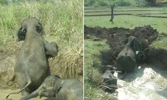 An elephant calf and its mother were rescued after being trapped in a well for over two days in Hambantota, Sri Lanka. A  video shows wildlife workers using a digger to help save the elephants.