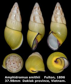 Dr. Lee's Gallery Museum: Amphidromus smithii 37.98mm