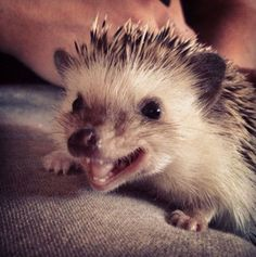 I simply refuse to believe that anybody does not find this adorable. I will have my hedgehog named Bruce Willis someday! I will!!!