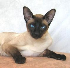 siamese cat - those eyes!