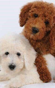 43 Best Goldendoodles images in 2018   Goldendoodle, Dogs
