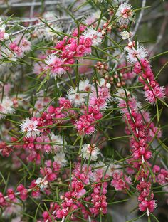 Hypocalymma angustifolium - Common name is Pink-Flowered Myrtle or White Myrtle. Native to western Australia. Photographed at the UCSC Arboretum in Santa Cruz, California., by philipbouchard, via Flickr