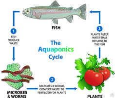 Aquaponic Gardens Effective Food Producers - Green Tips -