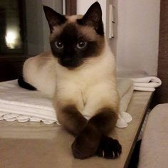 I'm a real lady so I've got the prettiest nails in this house @pawproject Shot by: @siamkaterelvis #SiameseCat